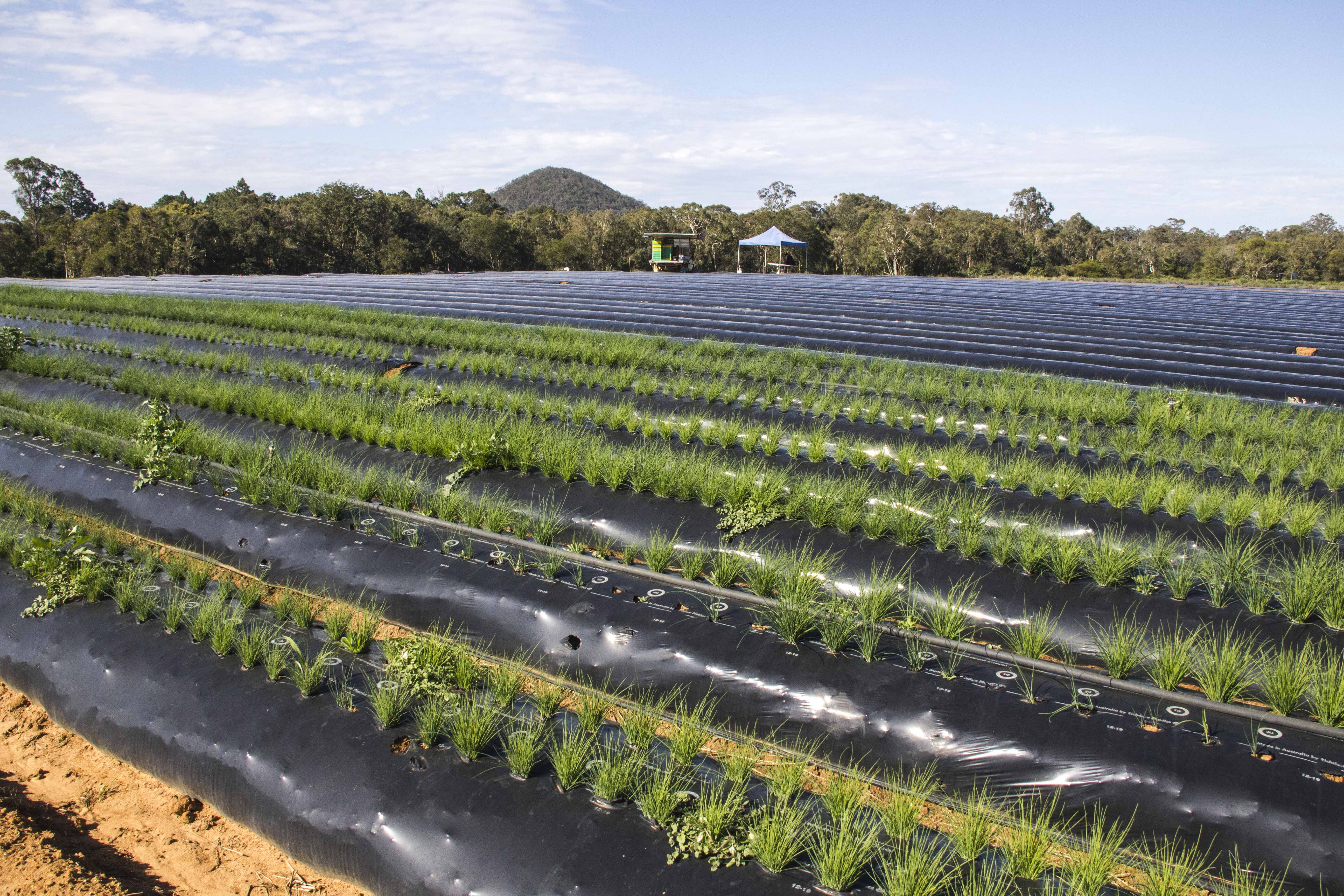 WELCOME  FARMGATE OPEN SAT & SUN 9-5  PYO STRAWBERRIES =     pe pd VAIN Le os ORT www.luvaberry.com.au 4 \ AT 7