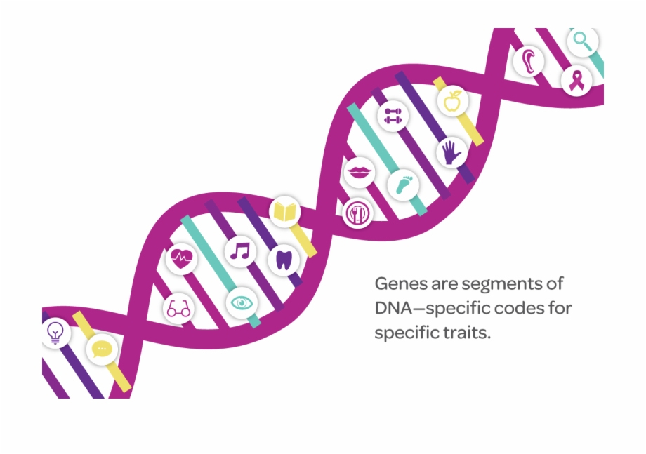 Genes are segments of DNA-specific codes for specific traits.
