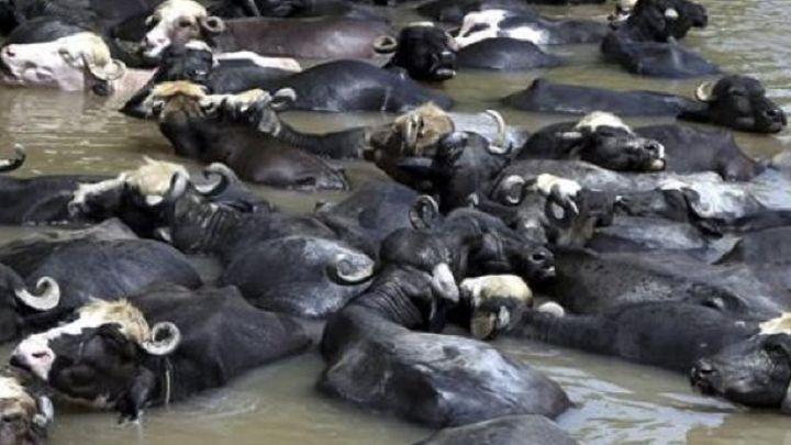 Unos búfalos se emborrachan y destapan una producción ilegal de alcohol
